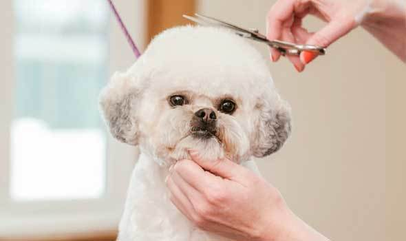 How to cut dogs face hair